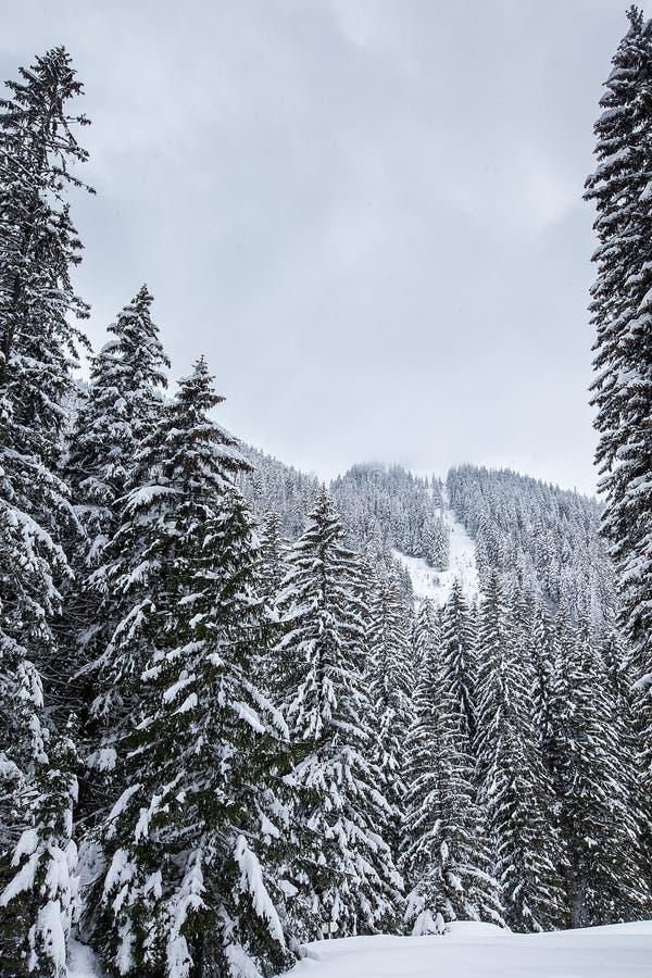 落在美丽的杉木森林里的雪盖用雪 免版税库存照片