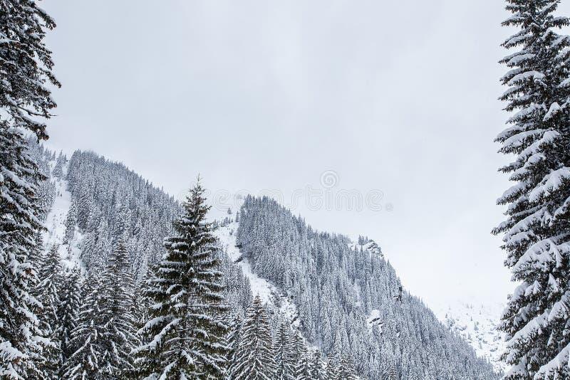 落在美丽的杉木森林里的雪盖用雪 图库摄影