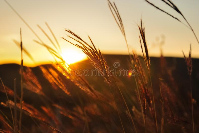 落日的光芒通过干草丛林  免版税库存照片