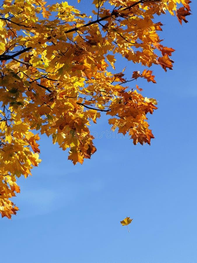 落的叶子槭树 库存图片