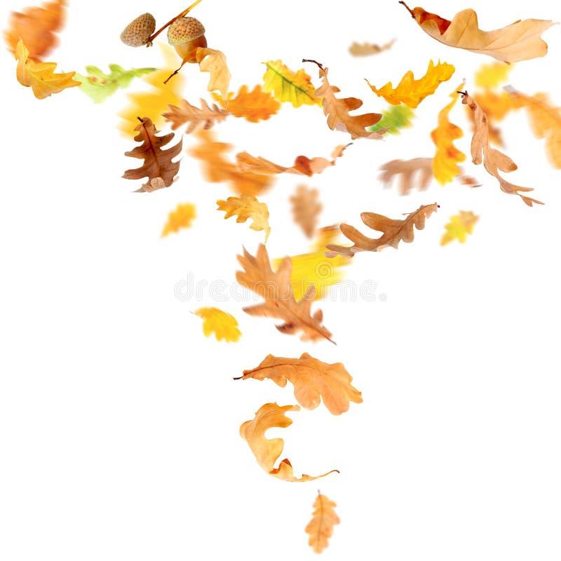 落的叶子橡木 图库摄影
