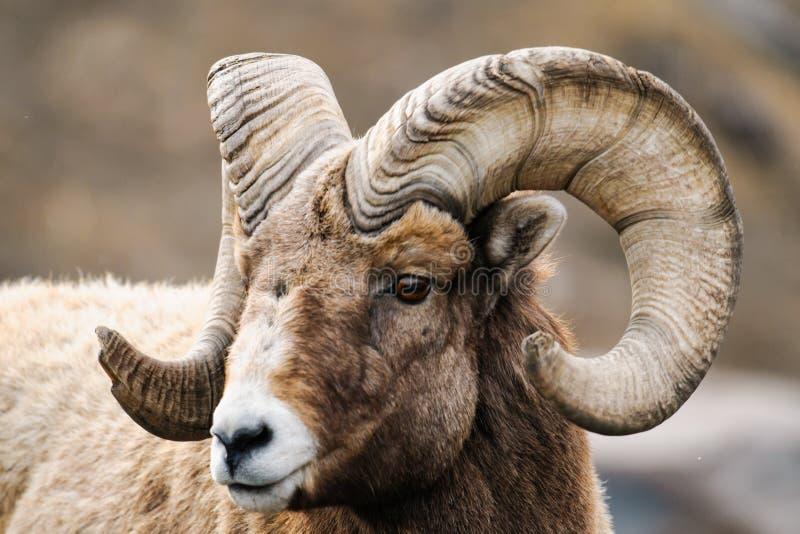 落矶山脉大有角的绵羊 图库摄影