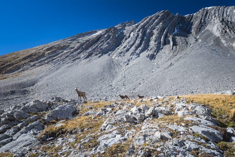 落矶山脉大有角的绵羊 免版税库存照片