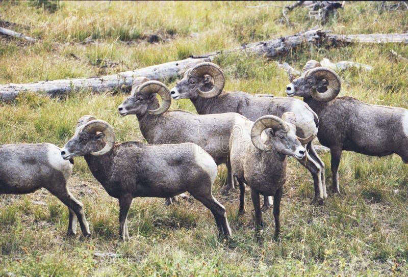 落矶山脉大角野绵羊公羊 库存照片
