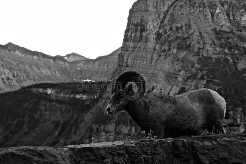 落矶山脉大角野绵羊黑白风景  免版税库存照片