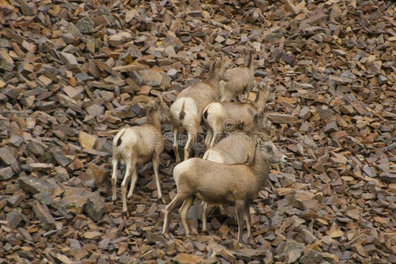 落矶山脉大角野绵羊,蒙大拿 库存照片