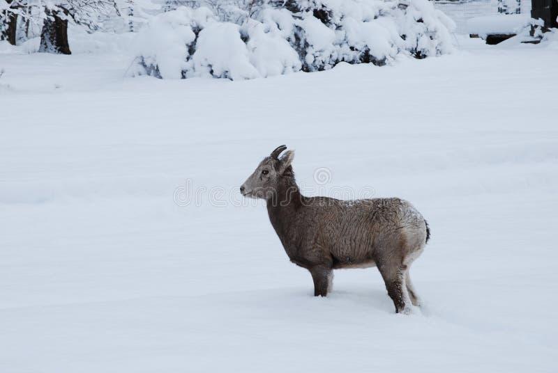 落矶山脉大角野绵羊,冬天山,蒙大拿 库存照片
