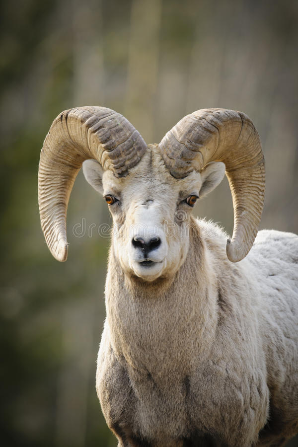落矶山脉大角野绵羊(羊属canadensis) 库存图片