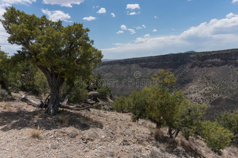 落矶山脉杜松树在新墨西哥 免版税库存图片