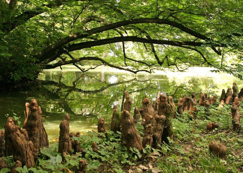 落羽杉空气根在湖特写镜头附近增长 免版税库存照片