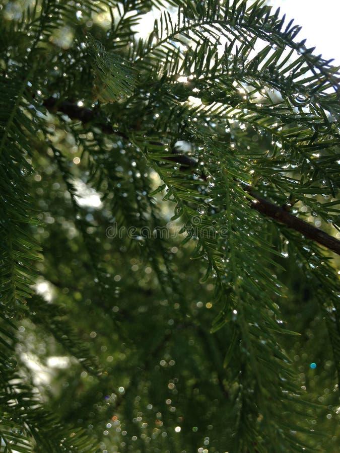落羽松与雨下落的Distichum (池柏)树在生长在池塘旁边的分支在日出期间 免版税库存照片