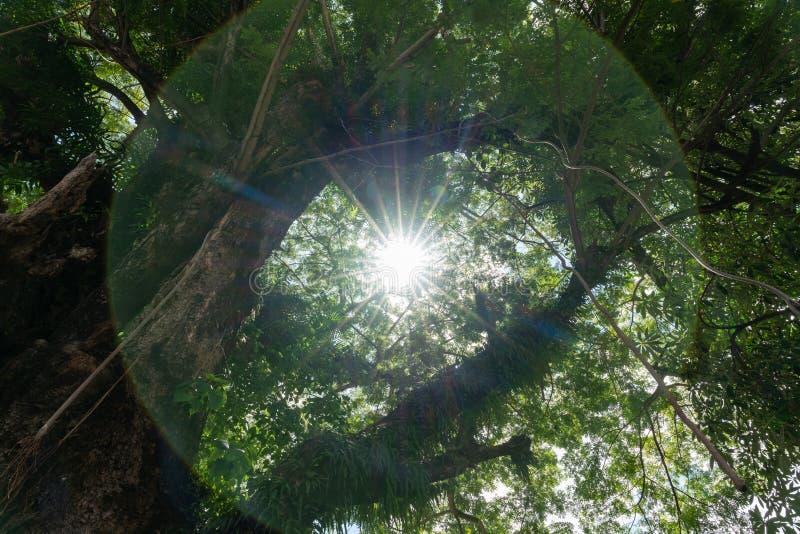 落通过的阳光树在一个新鲜的绿色森林制造迷人气氛 免版税库存图片