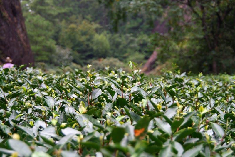 著名Da洪Pao大红色长袍茶,瓷的种植园 免版税库存图片