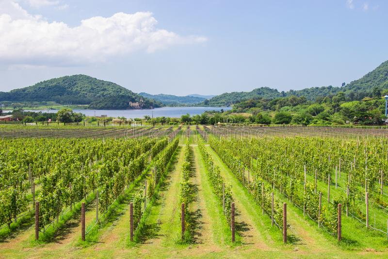 葡萄农场和庭院近的湖和山的在天明亮的天空和是芭达亚的普遍的旅游目的地 免版税图库摄影