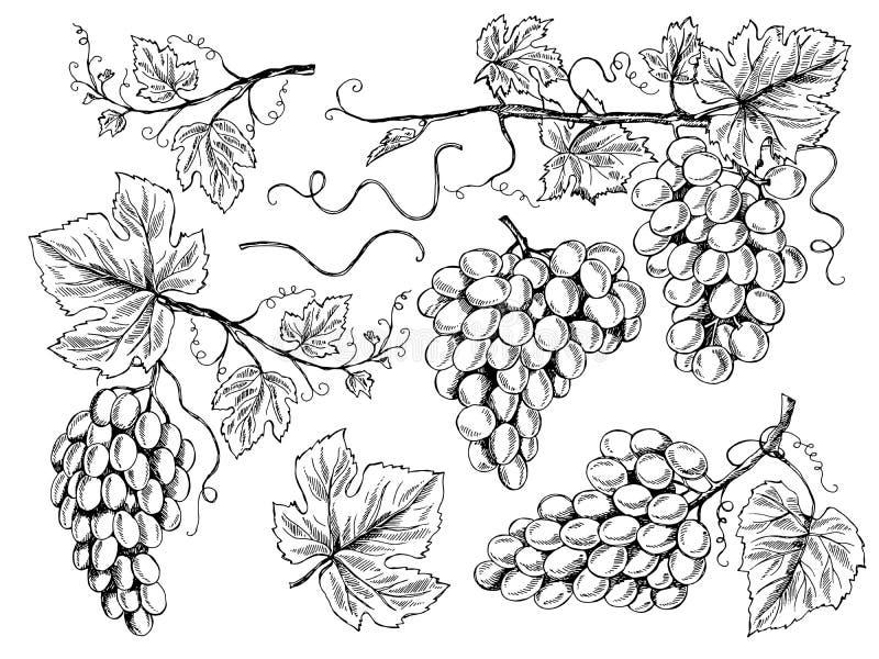 葡萄剪影 花卉图片与刻记传染媒介手拉的例证的叶子和卷须葡萄园的葡萄酒 皇族释放例证