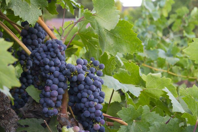 葡萄叶子包围的加伯奈葡萄酒葡萄 库存图片
