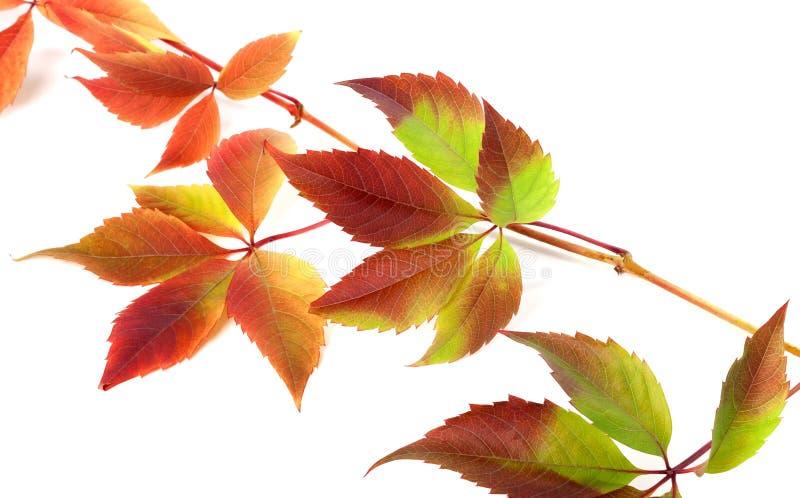 葡萄叶子的多色秋天枝杈 免版税图库摄影