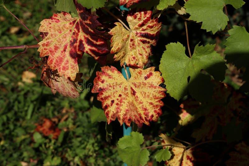 葡萄园中的明秋葡萄叶 免版税库存图片