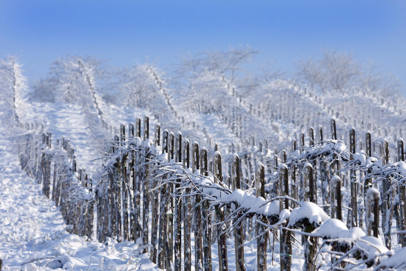 葡萄园冬天 库存图片