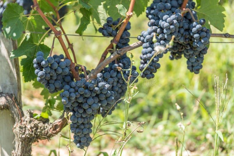 葡萄园和葡萄柚在红葡萄酒附近的Medoc在法国 图库摄影