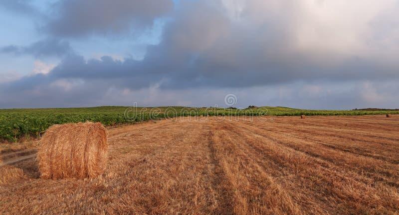 葡萄园和麦田在可西嘉岛海岛 库存照片