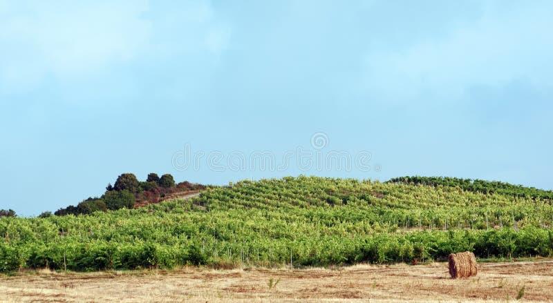 葡萄园和麦田在可西嘉岛海岛 免版税图库摄影