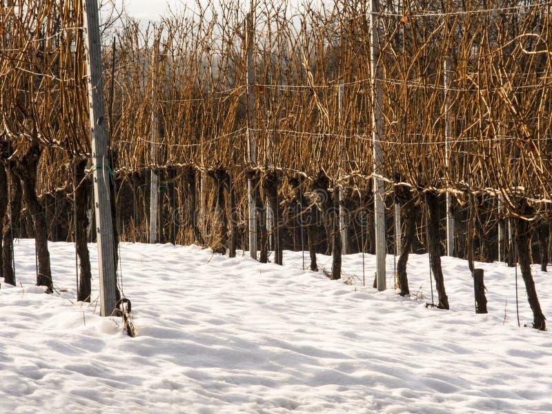 葡萄园在冬天 免版税库存图片
