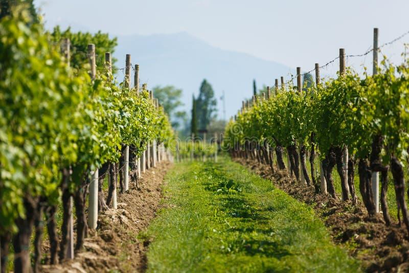 葡萄园在北部意大利 免版税库存图片