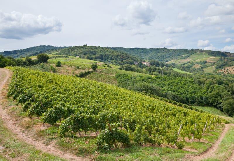 葡萄园在博若莱红葡萄酒,法国的酿酒区域 库存照片