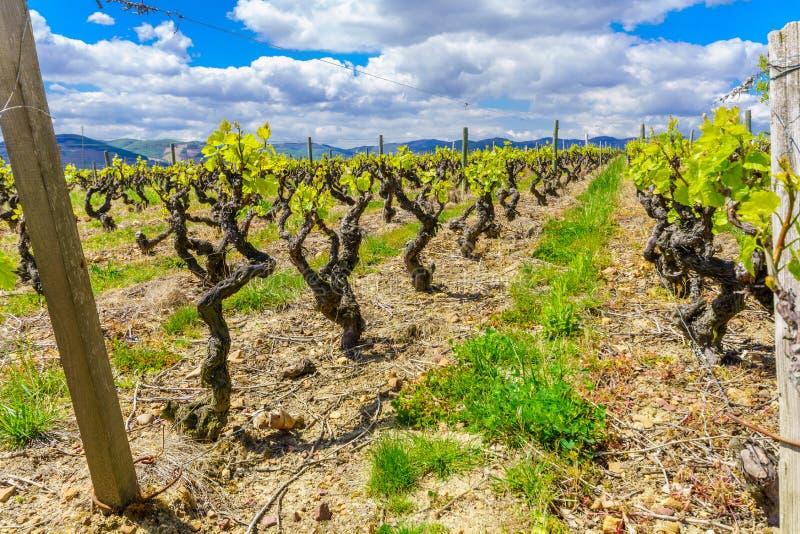 葡萄园在博若莱红葡萄酒,法国 免版税库存照片