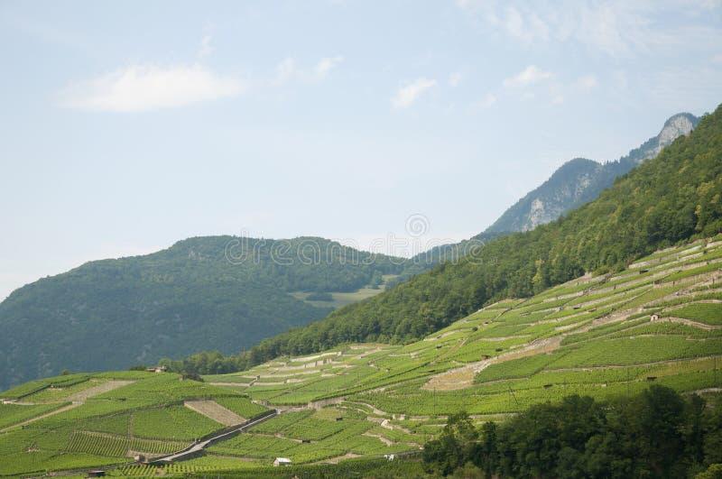葡萄园在瑞士在一个夏日 免版税库存图片