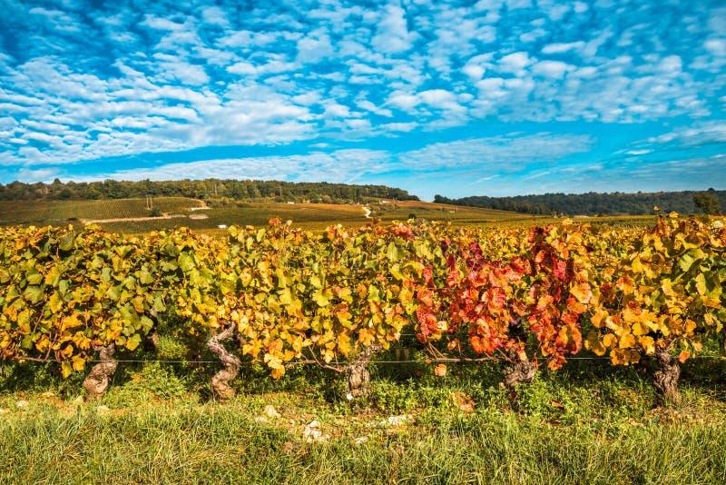 葡萄园在秋天晒干,伯根地,法国 图库摄影