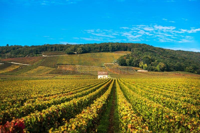 葡萄园在秋天晒干,伯根地,法国 免版税库存图片