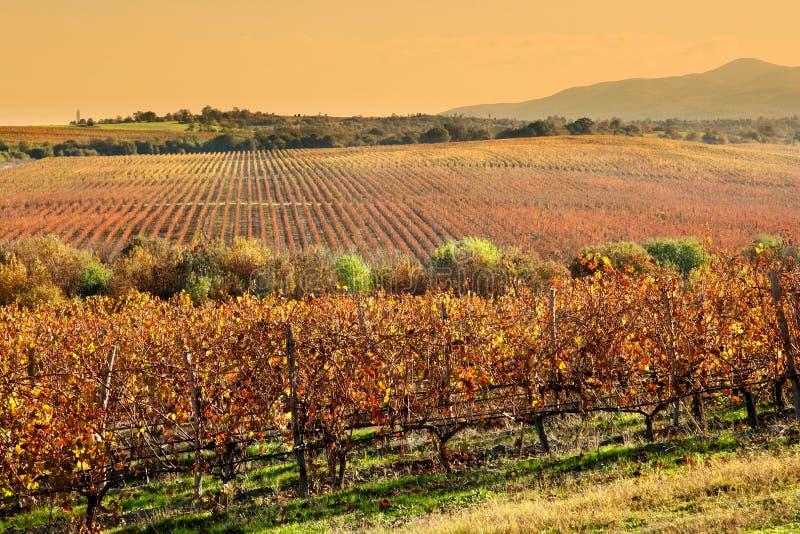 葡萄园在秋天 库存图片
