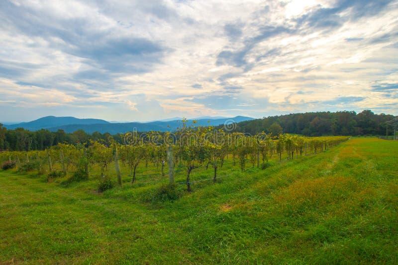 葡萄园在蓝岭山脉在一美好的阴天 免版税图库摄影
