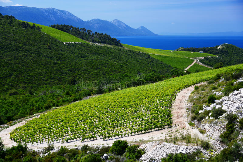 葡萄园在达尔马提亚,克罗地亚,亚得里亚海的海岸的 库存图片