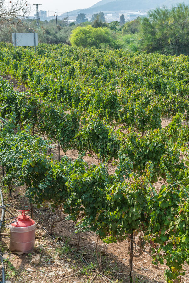 葡萄园在以色列 库存照片