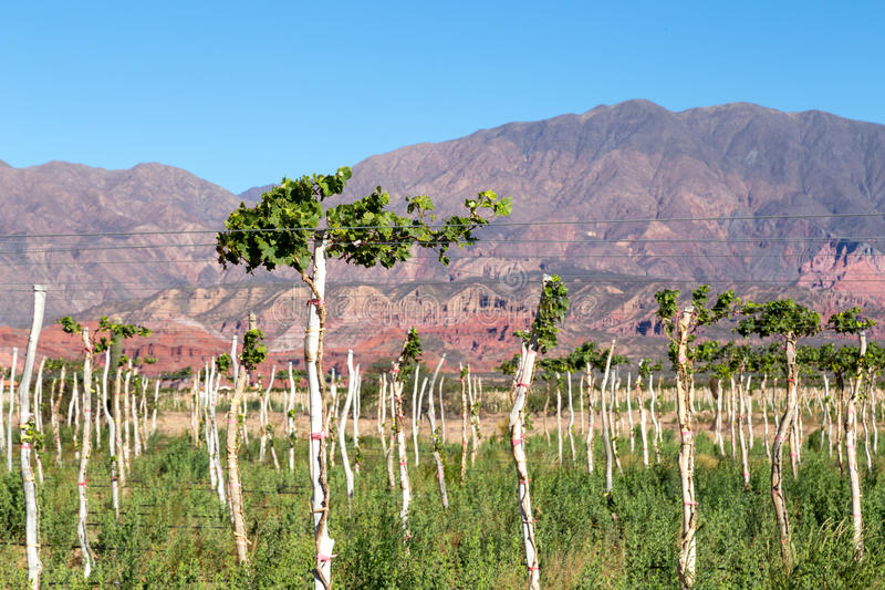 葡萄园在Cafayate,阿根廷 免版税库存图片
