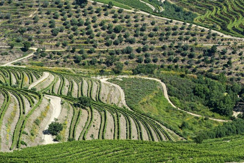 葡萄园大阳台和橄榄树在杜罗河地区 免版税库存照片