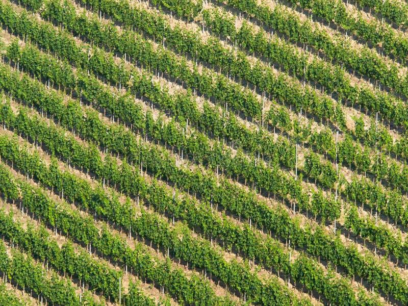 葡萄园对角样式:葡萄树行在陡峭的小山的 库存图片
