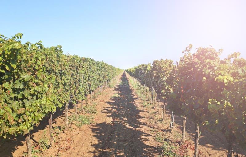 葡萄园用成熟葡萄 库存照片