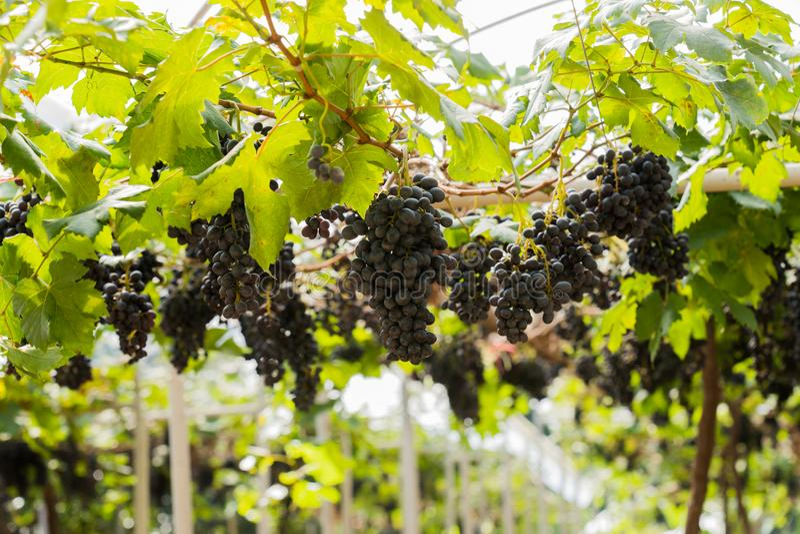 葡萄园用果子和酒的有机新鲜的葡萄 免版税库存图片