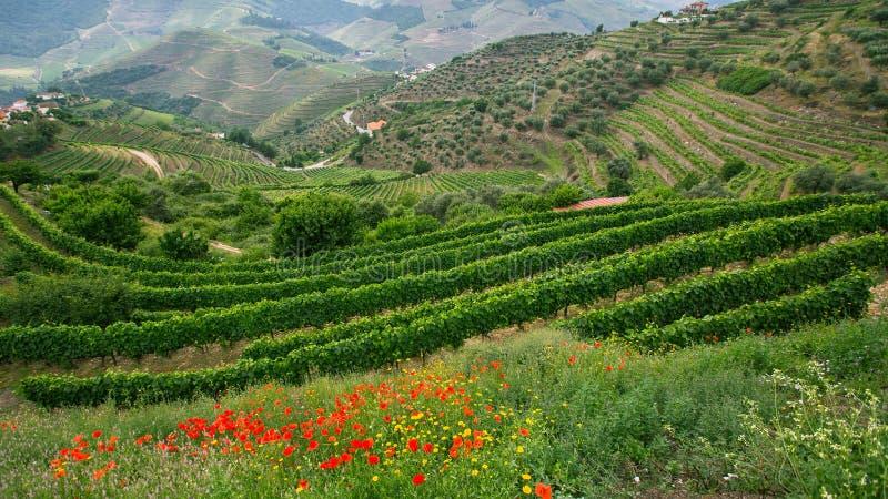 葡萄园看法是在小山 杜罗河谷 库存图片