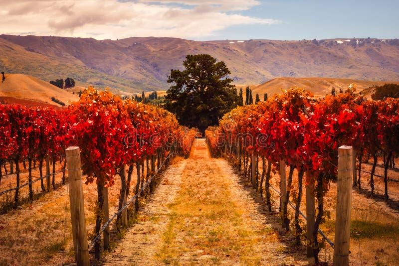 葡萄园秋天视图荡桨与树,新西兰 免版税图库摄影