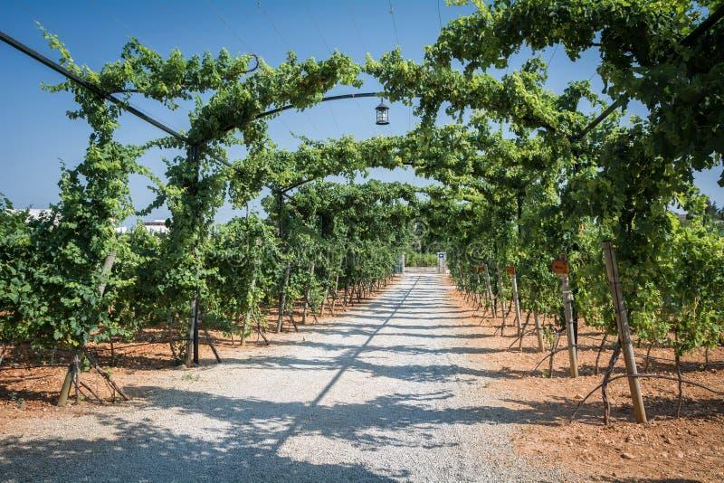 葡萄园种植园在马略卡 印加人,马略卡,西班牙 库存照片