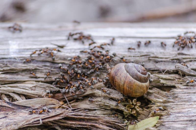 葡萄园蜗牛围拢了并且攻击了森林蚂蚁 免版税库存图片