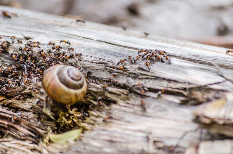 葡萄园蜗牛围拢了并且攻击了森林蚂蚁 免版税库存照片