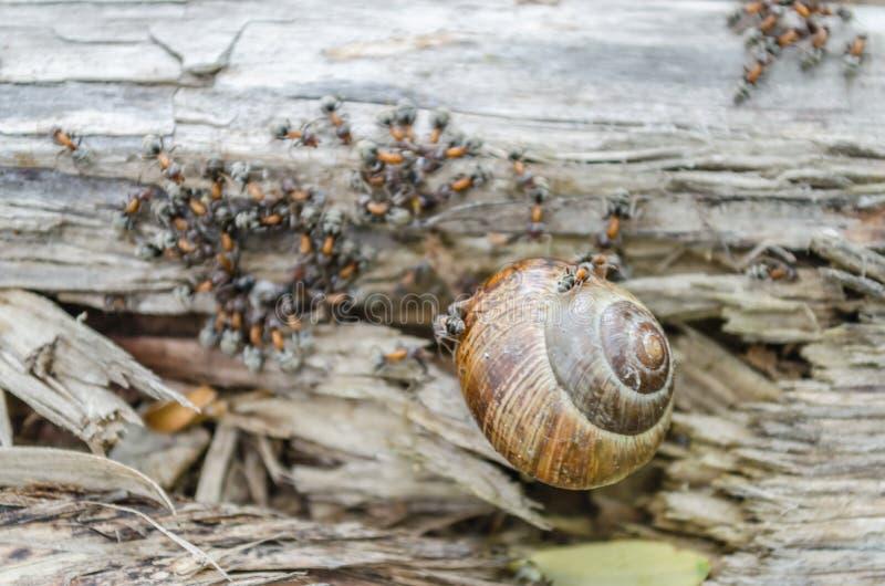 葡萄园蜗牛围拢了并且攻击了森林蚂蚁 图库摄影