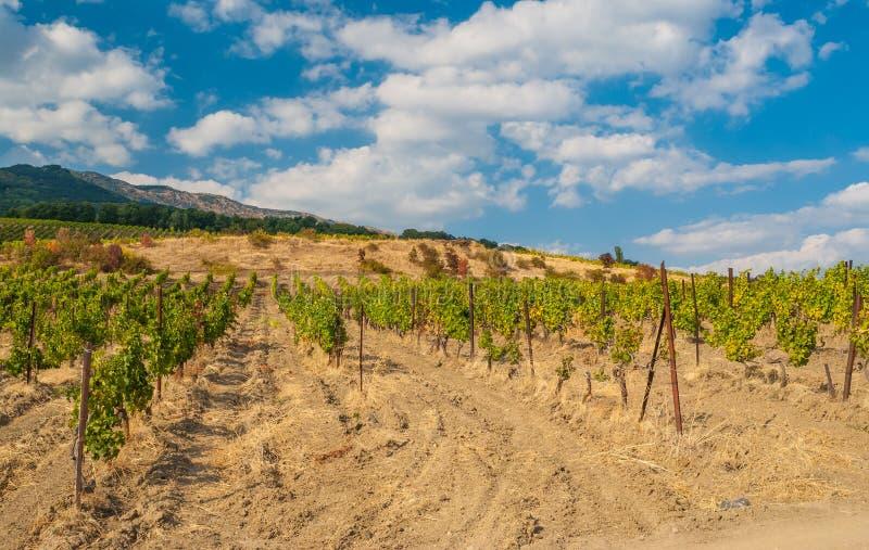年轻葡萄园行克里米亚半岛山的在秋季 免版税图库摄影