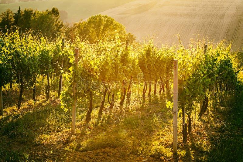 葡萄园行在马尔什,意大利 免版税库存图片